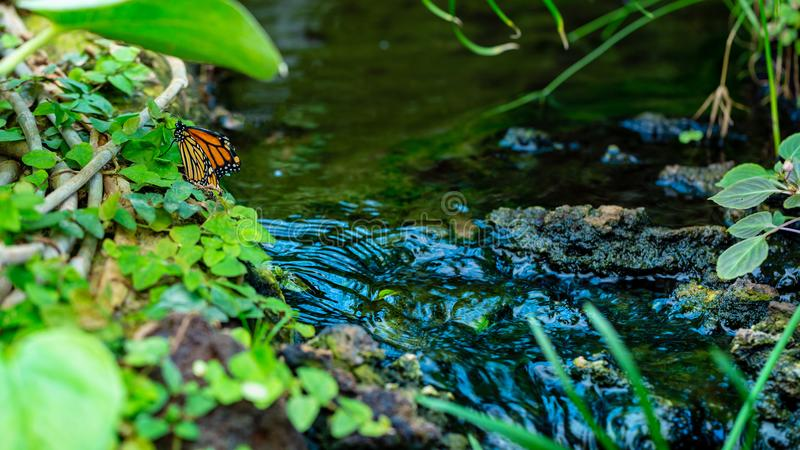 Orange butterfly are setting near brook in jungle royalty free stock photo