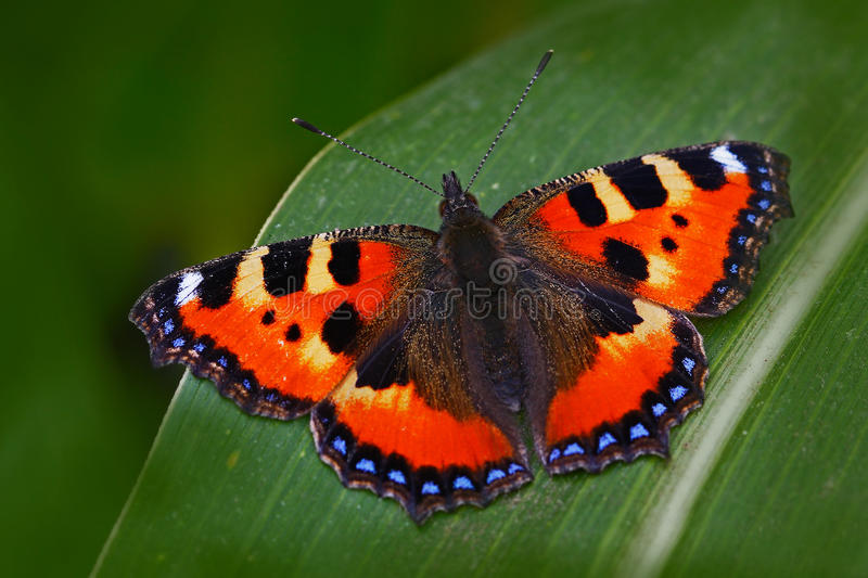 Orange butterfly Small tortoiseshell Aglais urticae, sitting on the green leave in the nature. Summer scene from the meadow. Beaut. Orange butterfly Small royalty free stock image