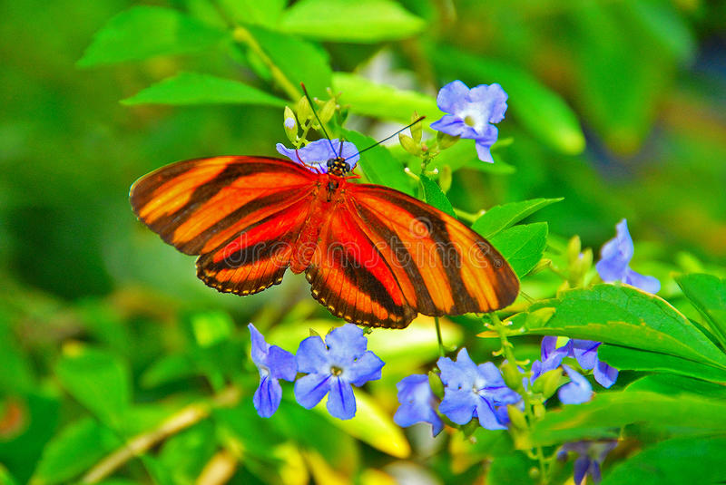 Orange Butterfly. Stripped Winged Orange Butterfly among Blue Flowers royalty free stock photography