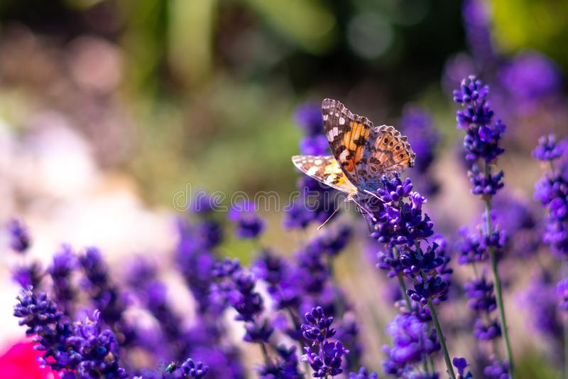 Orange butterfly Vanessa Cardui and bee on the lavender flower. Purple aromathic blossom with insect animals. Summer weather, royalty free stock photography