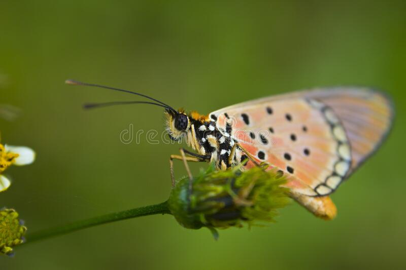 Orange butterfly on a weed royalty free stock photo
