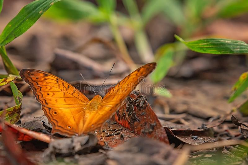 Orange butterfly on wet ground in rainforest. Detail makro photography on him stock photo