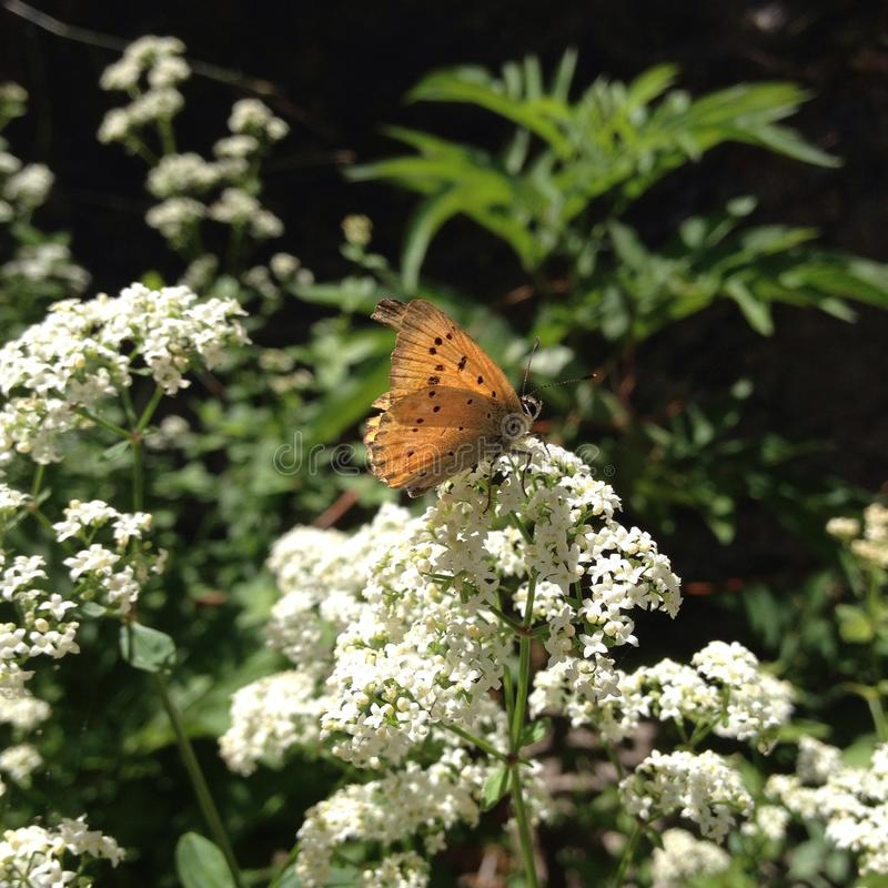 Orange butterfly and white royalty free stock photos