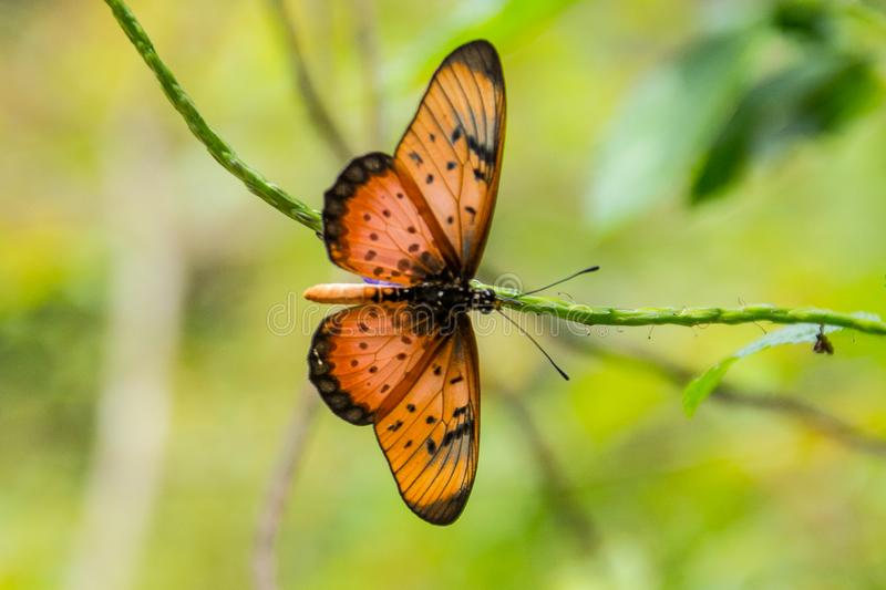 Orange butterfly. Zanzibar. Tanzania. An orange butterfly sitting on a branch, Zanzibar. Tanzania stock image