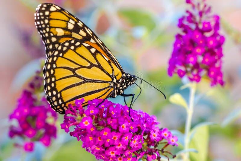 Orange Butterly auf purpurroten Blumen lizenzfreie stockbilder