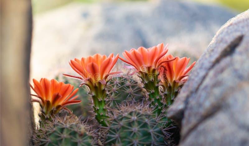 Orange cacti flowers blooming in spring sunshine in AZ desert. Orange cacti flowers blooming in spring sunshine in Arizona desert stock photo