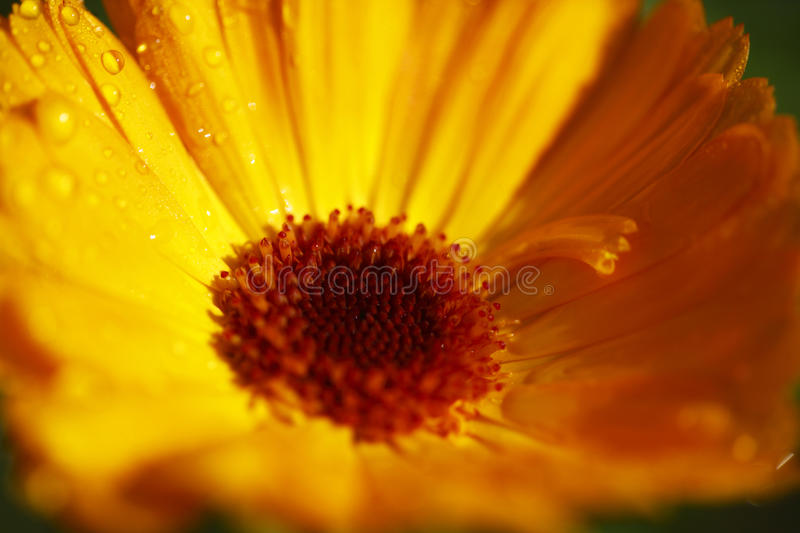 Orange Calendula royalty free stock images