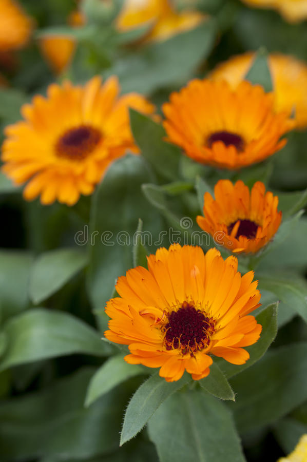 Orange calendula officinalis stock images