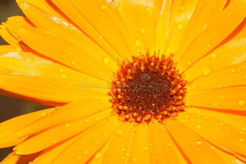 Orange Calendulablomma med daggdroppar royaltyfri foto