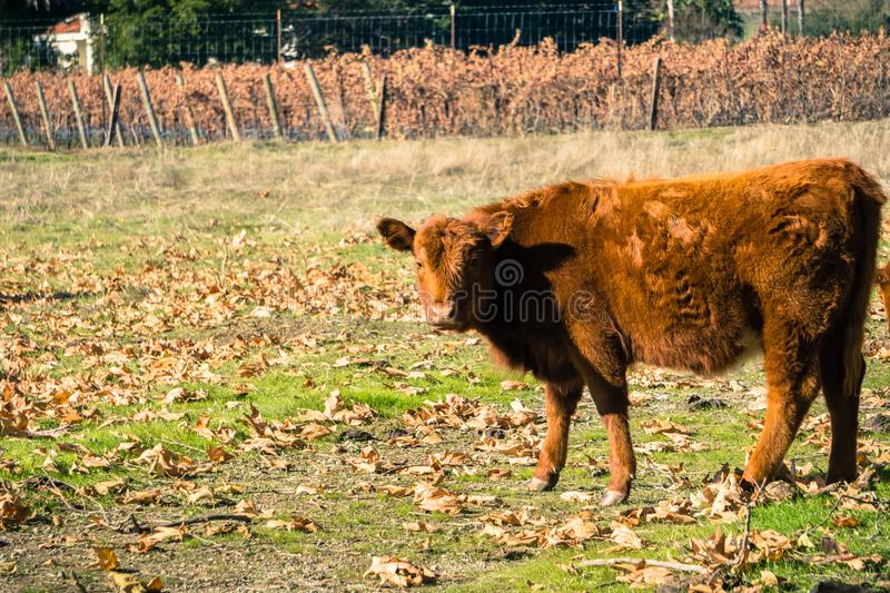 Orange calf looking taking a break from grazing and looking at the camera, San Francisco bay, California royalty free stock images