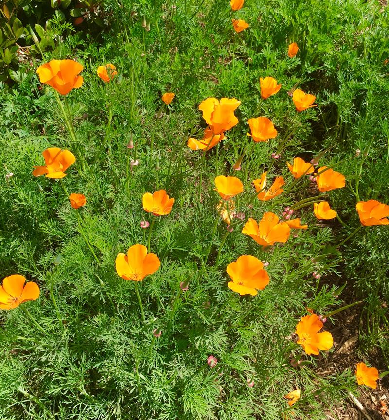 Orange California Poppies royalty free stock image