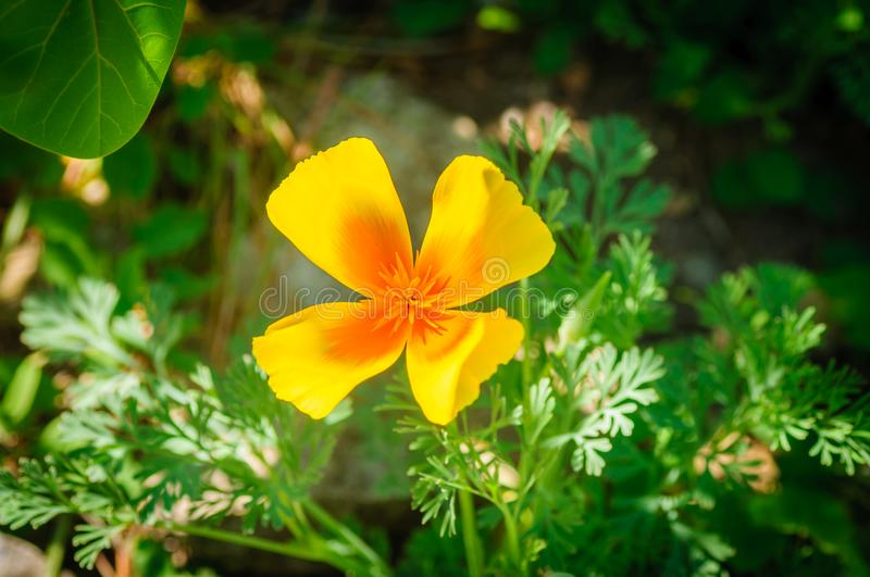 Orange California Poppy flower or Golden Poppy, Cup of Gold. Eschscholzia Californica stock images
