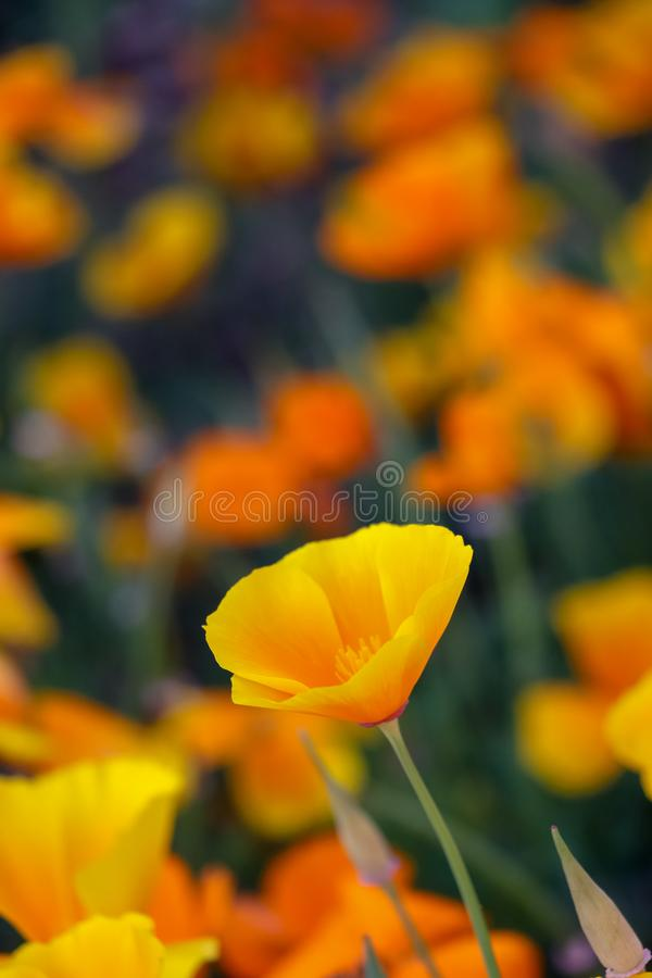 Orange California poppy flowers stock photo