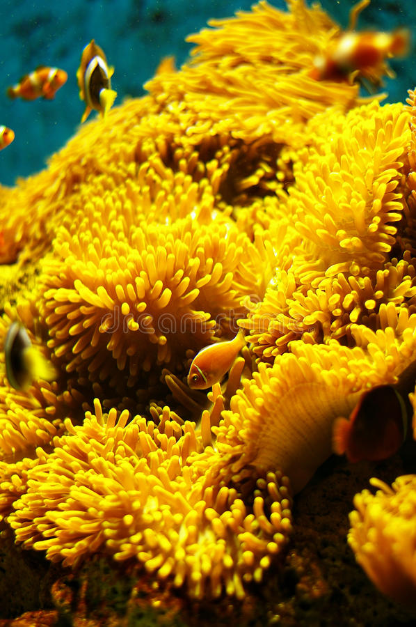 Orange in Camouflage. Orange fish in camouflage against the soft corals royalty free stock image