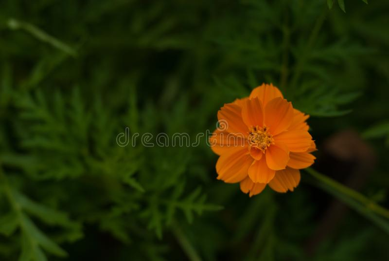 Beautiful orange daisy flower in the gardens royalty free stock images