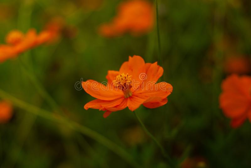 Beautiful close-up orange flowers with blurry backgrounds stock photography