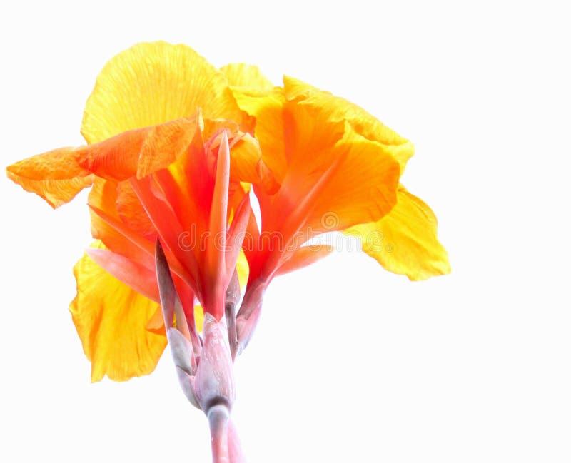 Orange Canna Lily royalty free stock image