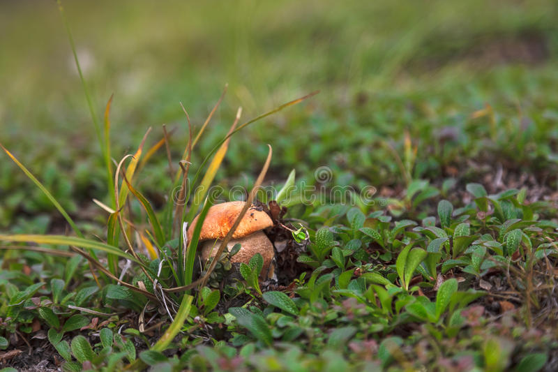 Orange-cap boletus close up in moss on tundra stock photography