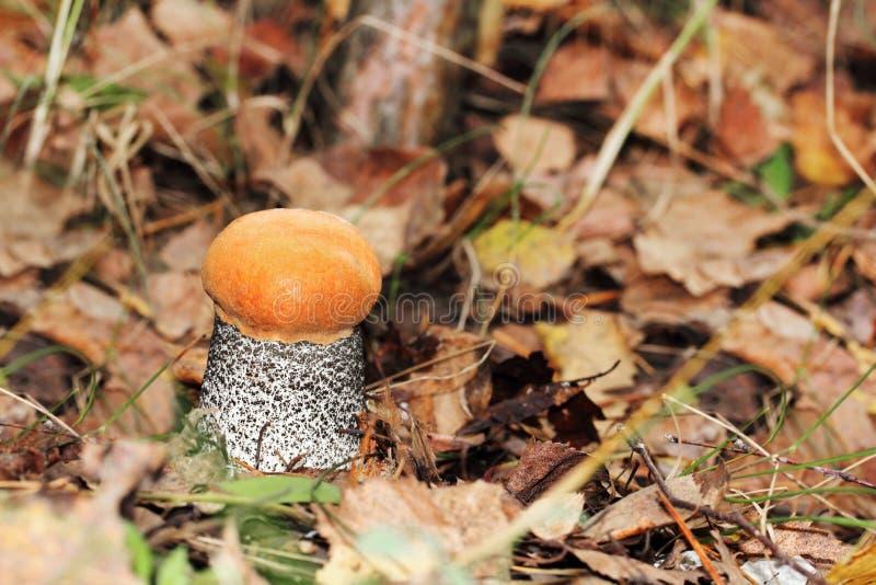 Orange-cap boletus among the fallen yellow leaves stock photos