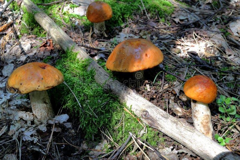 Orange cap boletus mushrooms royalty free stock image