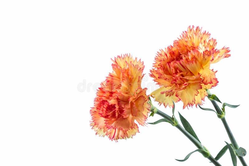 Orange carnation flower. Orange carnation flower isolated on white background stock photo