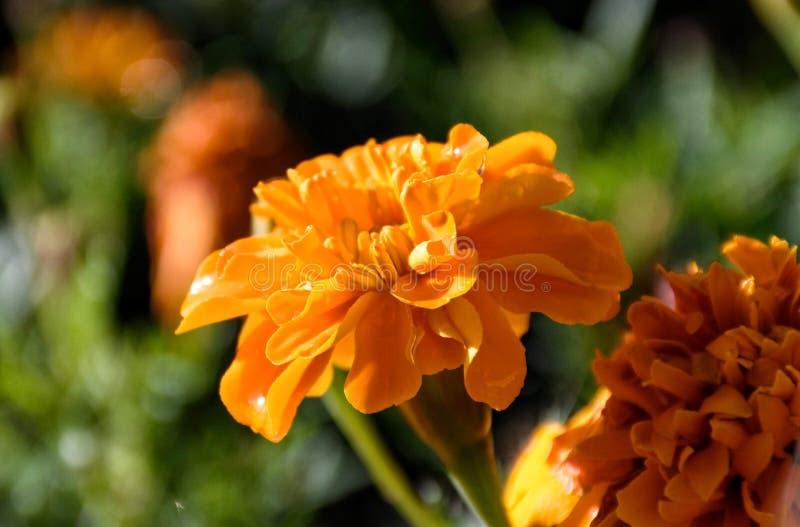 Orange carnation. Detail stock photography