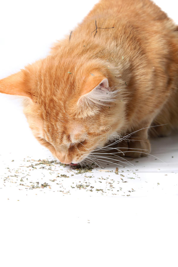 Orange cat eating catnip. Orange cat eating dried catnip after rolling in it as seen on his fur stock photos