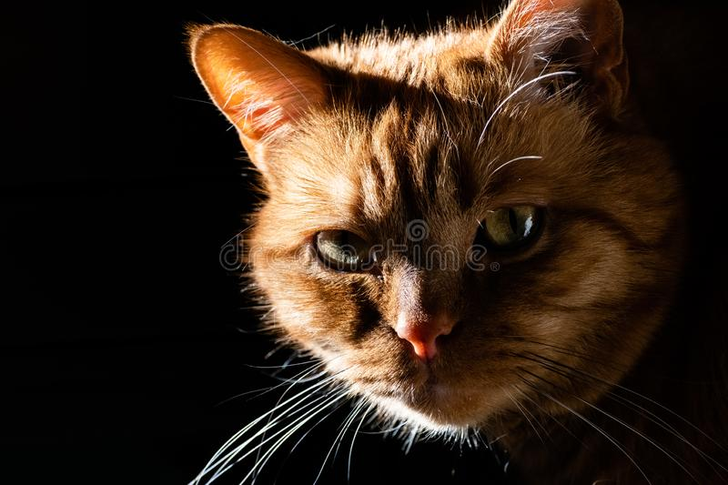 Orange cat looking at the camera; illuminated by bright sun on one side; dark background royalty free stock image