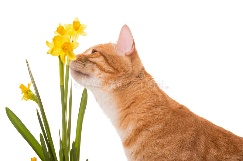 Orange cat is smelling the daffodils stock photo