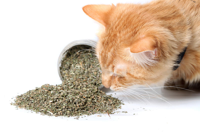 Orange cat sniffing dried catnip. Orange cat smelling dried catnip spilled over from container on white background royalty free stock photos