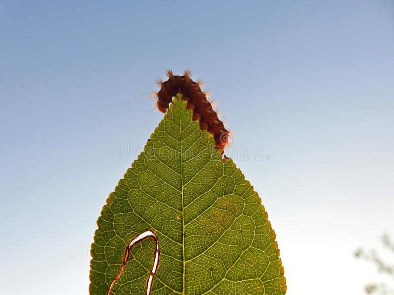 An orange caterpillar eats the green leaf. With great appetite stock photo