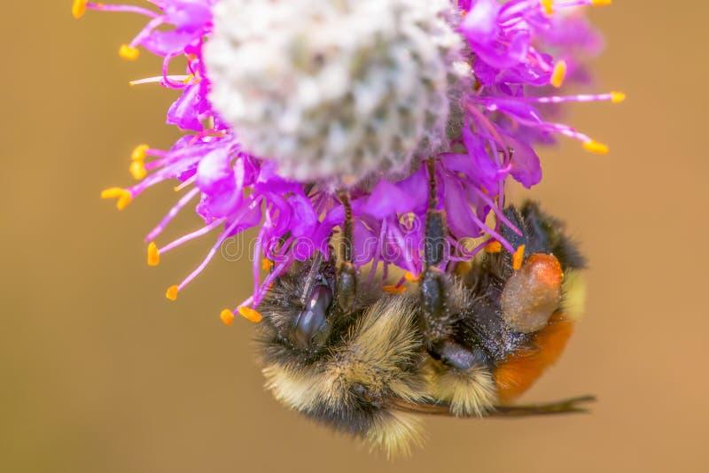 Orange-ceinturé gaffez l'abeille sur le trèfle pourpre de prairie à la région de faune de prés de Crex dans le Wisconsin du nord  photos stock