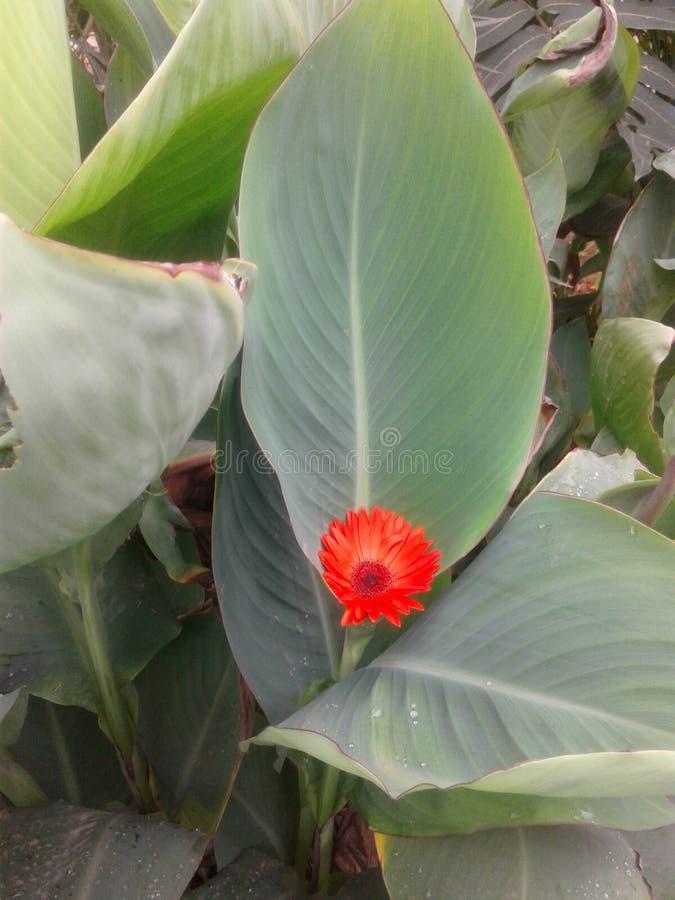 Orange celia kept in duplicate plant stock image