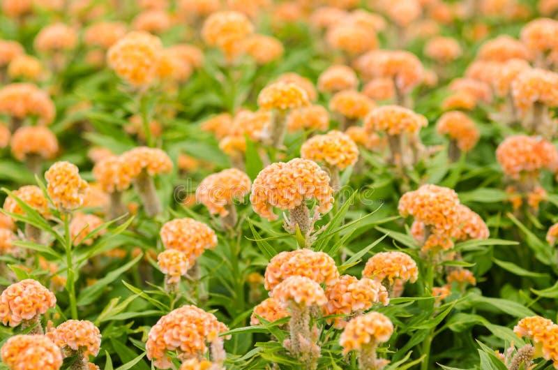 Orange Celosia eller ull blommar eller tuppkamblomman royaltyfria foton
