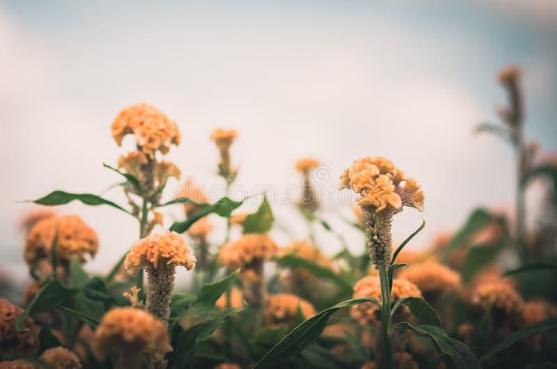 Orange Celosia eller ull blommar eller tuppkamblommatappning royaltyfri bild