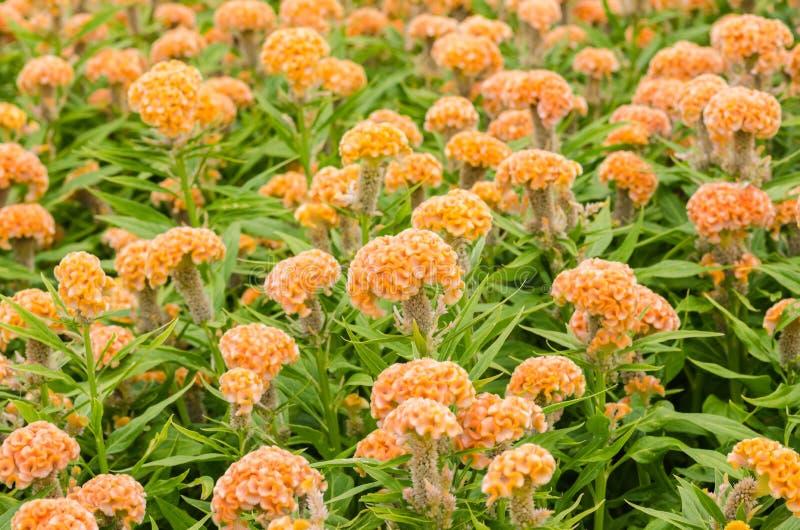 Orange Celosia- oder Wollblumen oder Hahnenkammblume lizenzfreies stockfoto