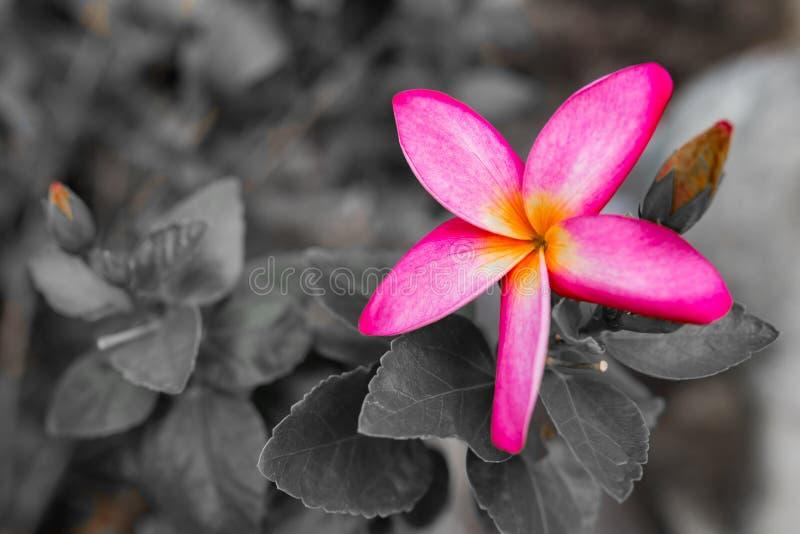 Orange Champaka& x27; Blume lizenzfreies stockbild