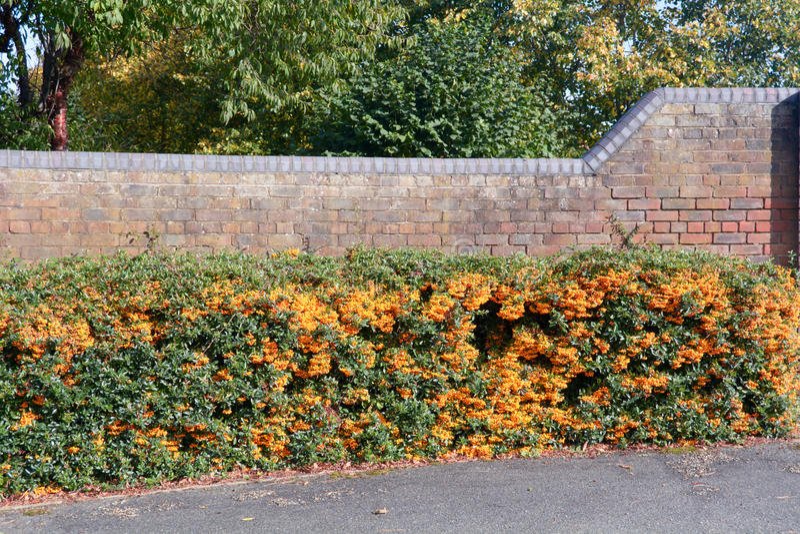 Orange charmör Firethorn royaltyfria bilder