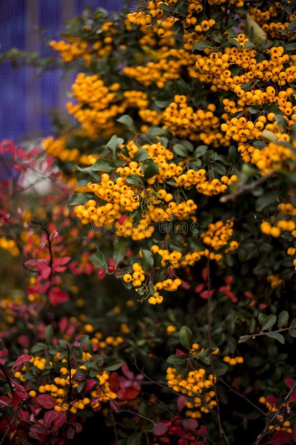 Orange Charmeur, Pyracantha lizenzfreie stockfotos