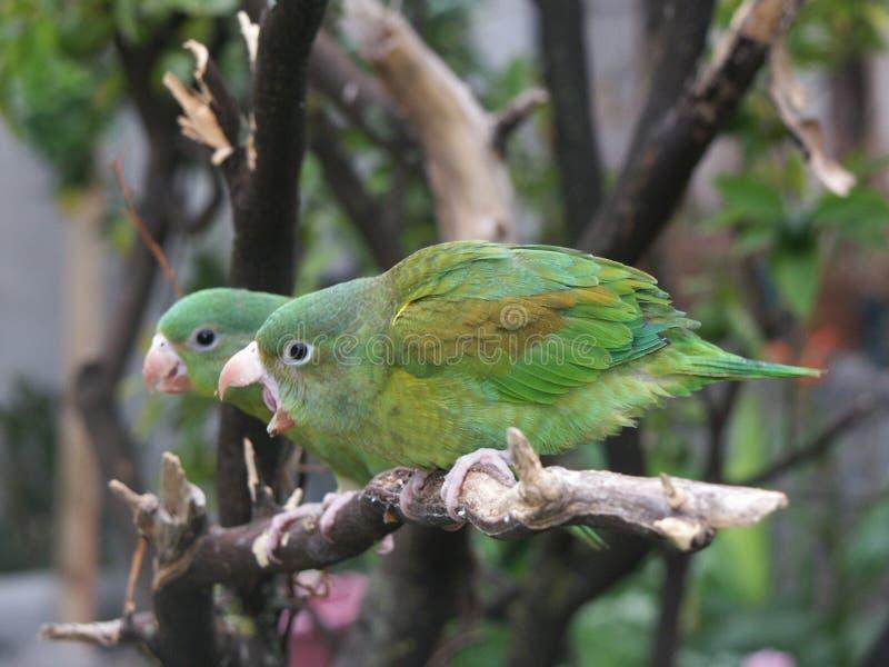 Orange-chinned Parakeetpaare Stockbilder