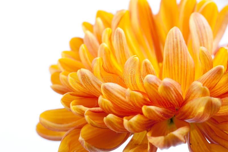 Orange Chrysantheme stockbilder