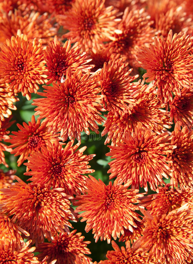 Orange Chrysanthemen lizenzfreies stockbild