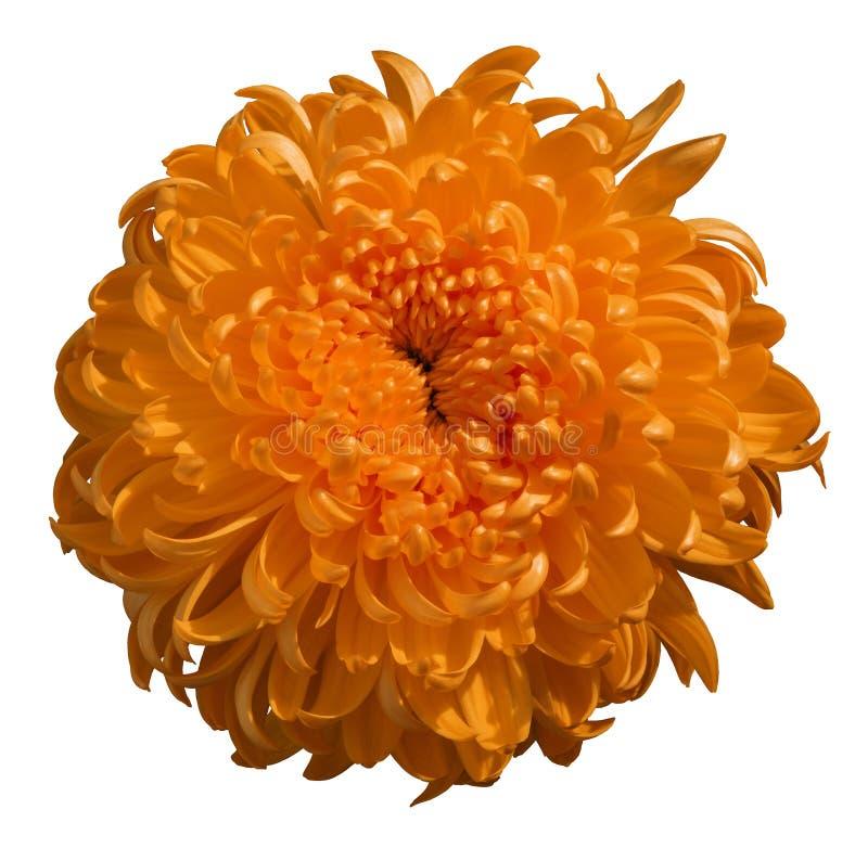 Orange Chrysanthemenblume, Weiß lokalisierte Hintergrund lizenzfreie stockfotos
