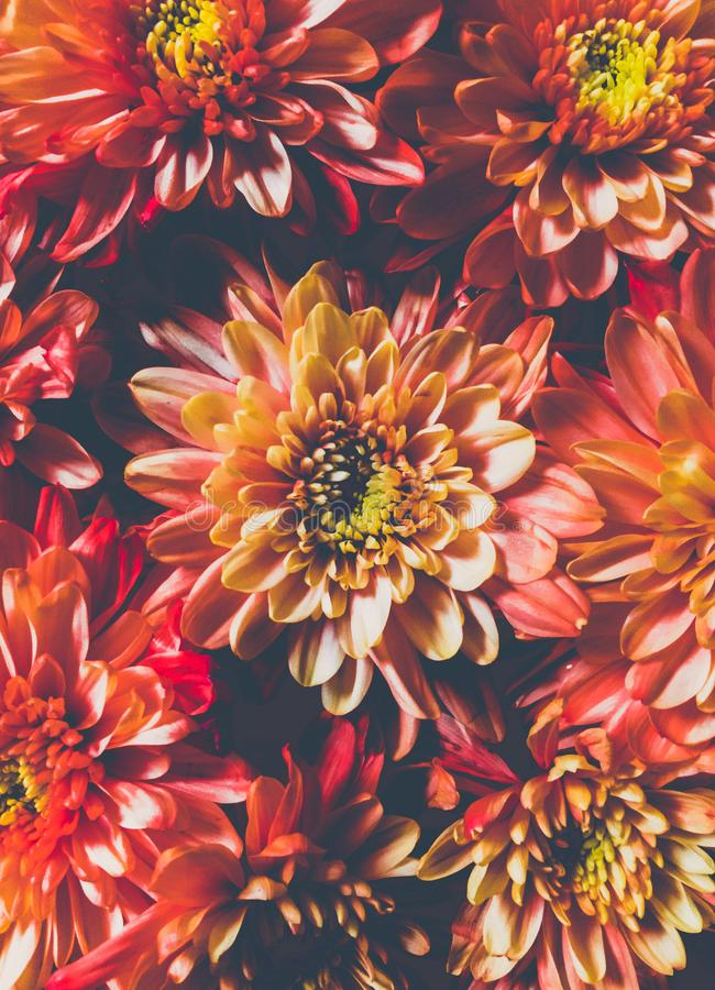 Orange Chrysanthemum Flowers in Closeup Photo royalty free stock photography