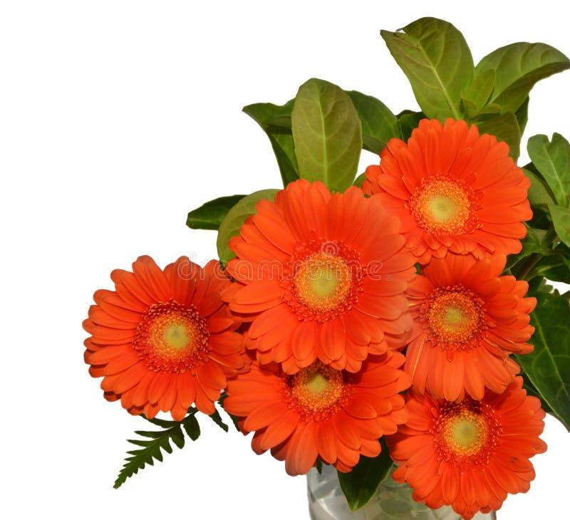 Orange chrysanthemums white background stock image