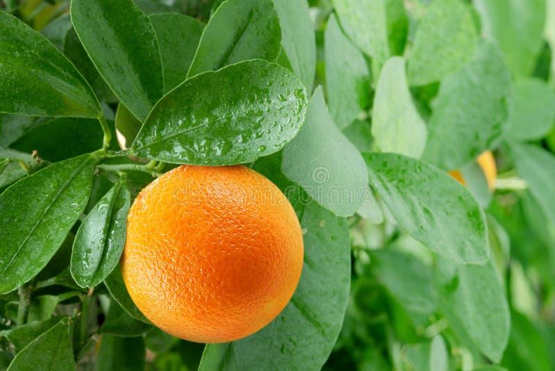 Orange on a citrus tree. royalty free stock image