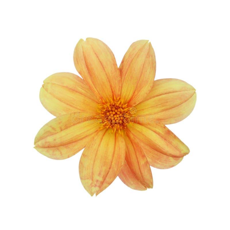 Orange-clair de dahlia d'isolement sur le fond blanc photos stock