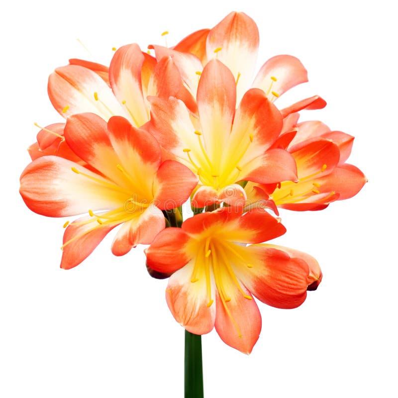 Orange Clivia miniata royaltyfri foto