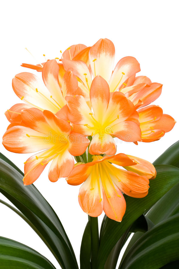 Orange Clivia miniata isolated stock images