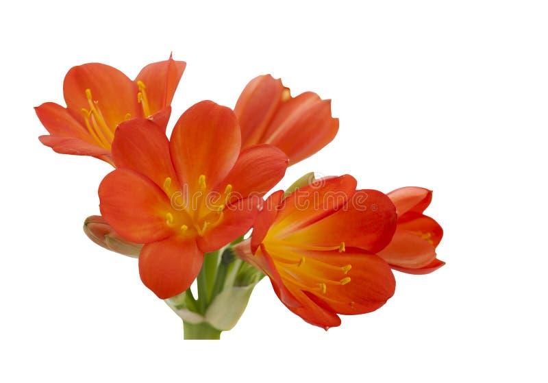 Orange Clivia-miniata stockbilder